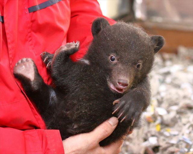 阿蘇 カドリードミニオン 子熊