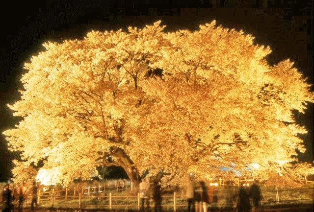 樹齢400年以上の大きな桜