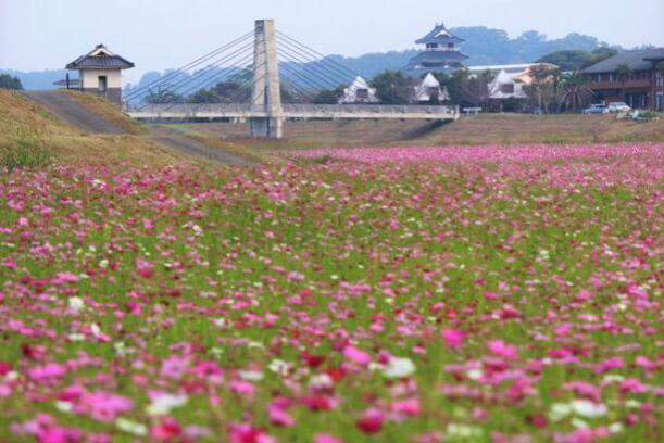 熊本 コスモス 七城リバーサイドパーク