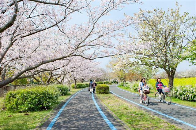 海の中道海浜公園 桜 レンタサイクル