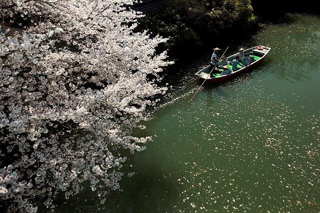 柳川観光 春 桜